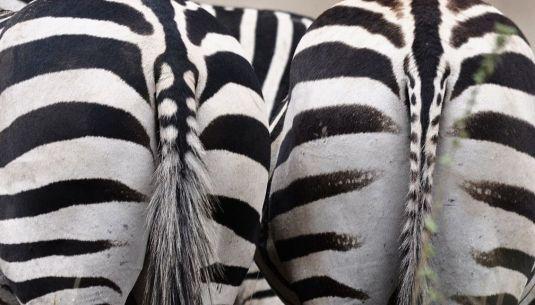 http://pic-a-daykenya.blogspot.com/2010/11/zebra-bottoms.html