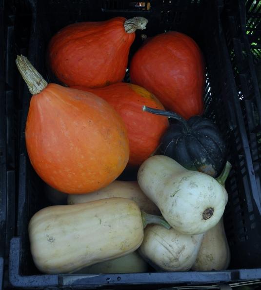 Squash-o-copia - butternut, acorn, ambercup