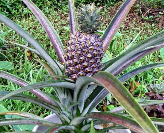 Pineapple-Plant1