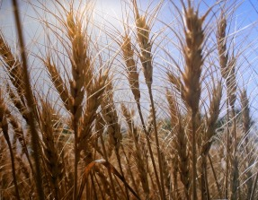 In wheat's defence...