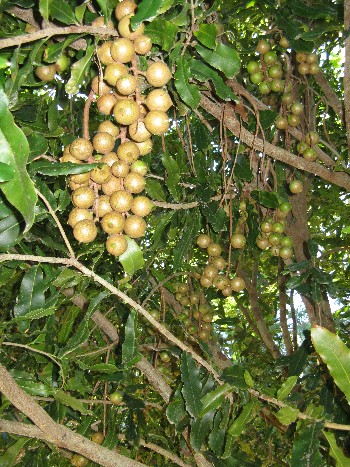 Macadamia nut trees thrive in Hawaia