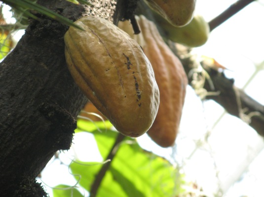 Each of these chocolate pods have 30 or 40 cocoa beans