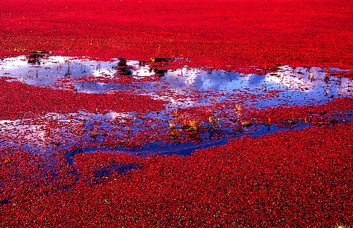Cranberry fields, forever